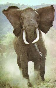 Слоны больше всего боятся не мышей, а… пчел