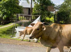 Корову обвиняют в убийстве 6 человек