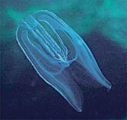 Медузы превращают Балтику в мертвое море