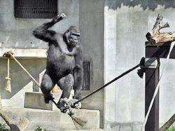 В японском зоопарке появилась горилла-канатоходец