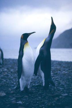 На пляже в ЮАР внезапно появился королевский пингвин