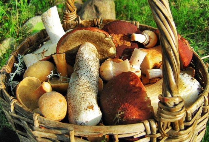 Целебные свойства грибов: лисички подавляют размножение стафилококков, а маслята лечат головную боль