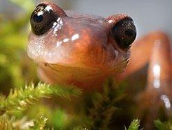 Саламандры-амазонки оказались рекордсменками регенерации