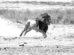 Ученый из Австралии придумал, как защититься от диких львов