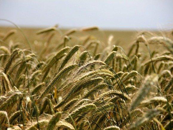 В России возник дефицит хлебопекарной пшеницы