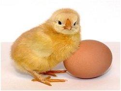 """Яйцо или курица"" - ученые разгадали популярную дилемму"