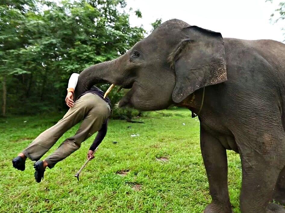 В Краби слониха убила и самостоятельно похоронила своего хозяина