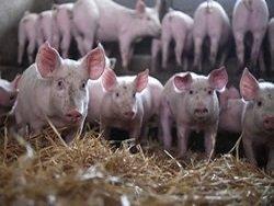 ЕС выставил России счет из-за эмбарго на ввоз свинины