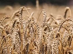 США спрогнозировали сохранение Россией лидерства по экспорту пшеницы