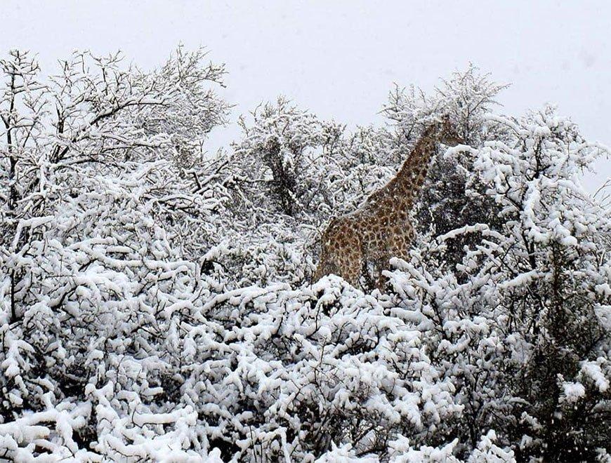 В Африке выпал снег! Слонов и жирафов, бродящих по сугробам, вы еще не видели