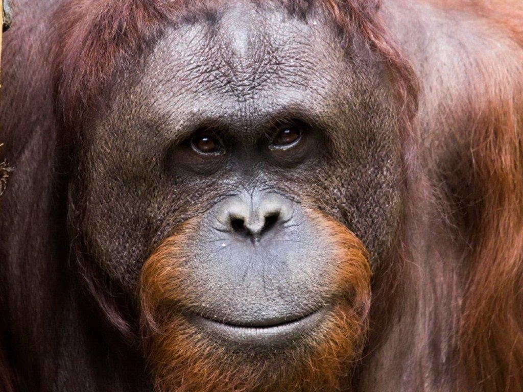 Орангутанги острова Борнео вымирают из-за пальмового масла