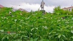 Фото дня: в Алтайском крае на газонах взошла конопля