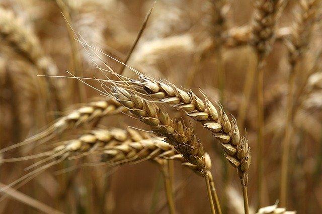 Высокие перспективы урожая грозят провалом цен на новое зерно