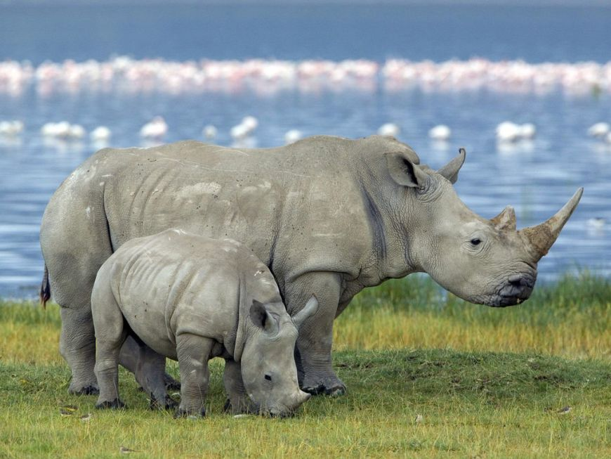 Вымирающий северный белый носорог может появиться на свет от умершего самца