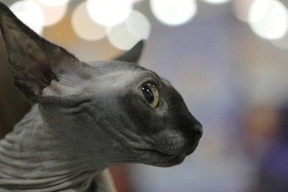 Неизвестный подсунул Алибасову чужого лысого кота и забрал 800 тысяч рублей