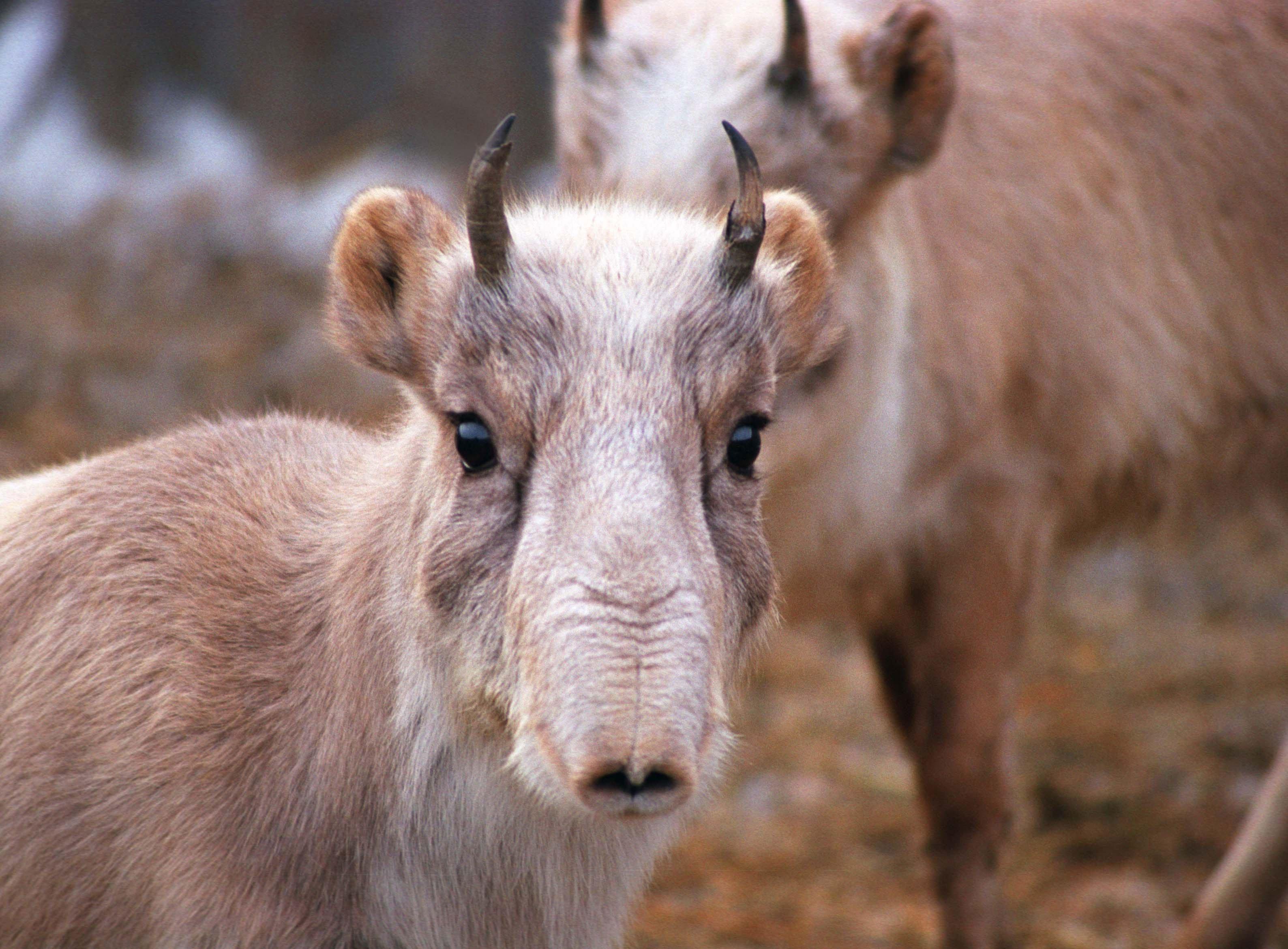 Сельчане Западного Казахстана жалуются на нашествие сайгаков