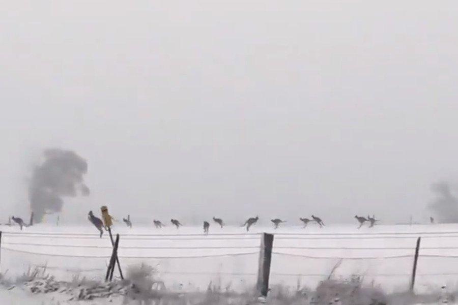 Кенгуру шокированы выпавшим снегом в Австралии