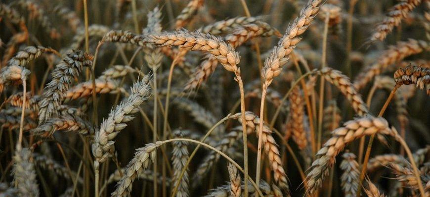 Минсельхоз США понизил прогноз экспорта пшеницы из России до 34 млн тонн