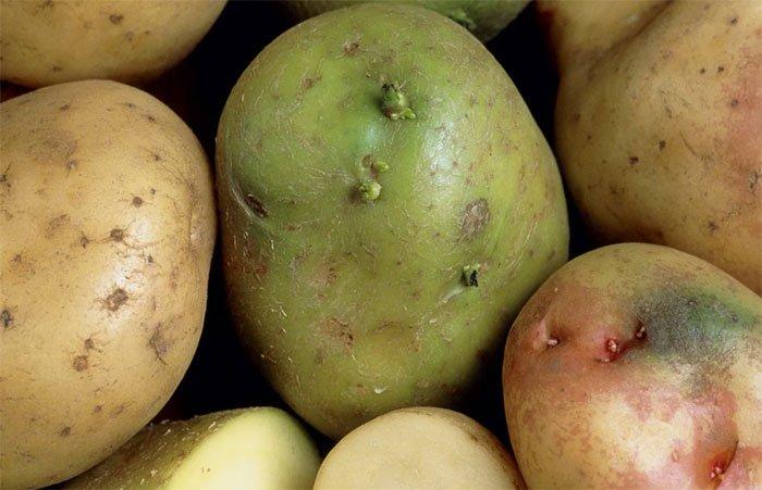 Специалисты рассказали, чем опасен позеленевший картофель