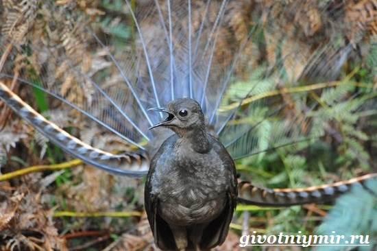 Птица из Австралии подражает всему, что слышит: послушайте, что у неё получается!
