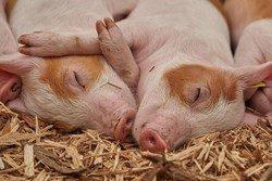 В Китае родились свиньи с органами для пересадки человеку