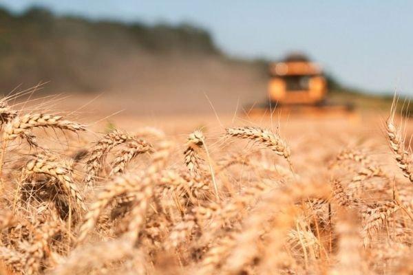 Фермеры стали меньше сеять пшеницы и других зерновых